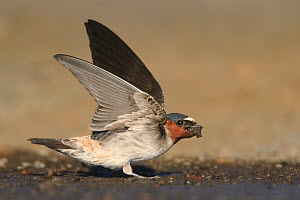 American Cliff Swallow (Petrochelidon pyrrhonota) collecting mud for nest, Wyoming  -  Matthew Studebaker/ BIA