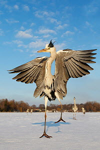 Grey Heron (Ardea cinerea) spreading wings on frozen lake, Berlin, Germany  -  Jan Wegener/ BIA