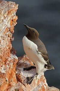 Common Murre (Uria aalge), Schleswig-Holstein, Germany  -  Holger Doernhoff/ BIA