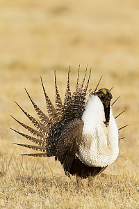 Sage Grouse (Centrocercus urophasianus) male displaying at lek, California  -  Bob Steele/ BIA