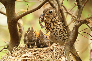 Song Thrush (Turdus philomelos) parent bringing food to begging chicks, Lower Saxony, Germany  -  Folkert Christoffers/ BIA