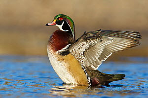 Wood Duck (Aix sponsa) male flapping wings, British Columbia, Canada  -  Jan Wegener/ BIA