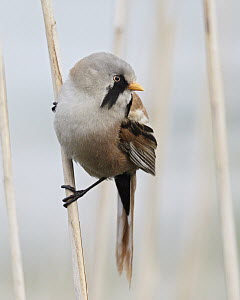 Bearded Tit (Panurus biarmicus) male, Mecklenburg-Vorpommern, Germany - Chris Romeiks/ BIA