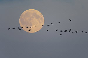 Common Crane (Grus grus) flock flying in front of moon, Mecklenburg-Vorpommern, Germany  -  Willi Rolfes/ BIA