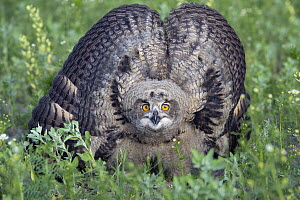 Eurasian Eagle-Owl (Bubo bubo) chick in defensive posture, Lower Saxony, Germany  -  Willi Rolfes/ BIA