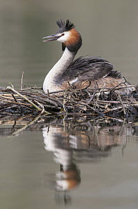 Great Crested Grebe (Podiceps cristatus) on nest, Lower Saxony, Germany  -  Willi Rolfes/ BIA