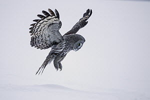 Great Gray Owl (Strix nebulosa) flying over snow, Finland - Hans Glader/ BIA