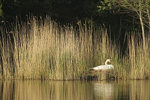 Mute Swan (Cygnus olor) on nest, Lower Saxony, Germany  -  Folkert Christoffers/ BIA