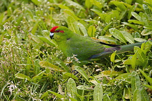 Red-fronted Parakeet (Cyanoramphus novaezelandiae), New Zealand - Eric Sohn Joo Tan/ BIA