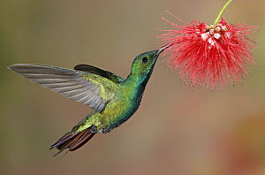 Green-breasted Mango (Anthracothorax prevostii) male feeding on flower nectar, Costa Rica - Graeme Guy/ BIA