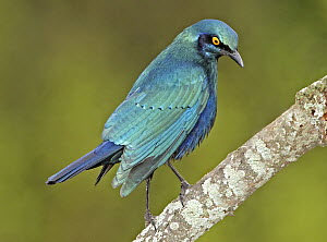 Red-shouldered Glossy-Starling (Lamprotornis nitens), Northern Cape, South Africa  -  Graeme Guy/ BIA