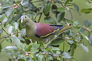 Thick-billed Green-Pigeon (Treron curvirostra) male, Penang, Malaysia  -  Graeme Guy/ BIA