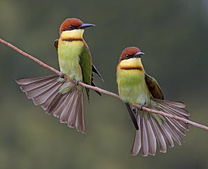 Chestnut-headed Bee-eater (Merops leschenaulti) pair, Penang, Malaysia  -  Graeme Guy/ BIA