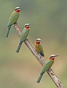 White-fronted Bee-eater (Merops bullockoides) group, Northern Cape, South Africa - Graeme Guy/ BIA
