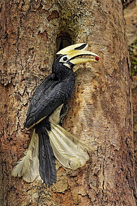 Oriental Pied-Hornbill (Anthracoceros albirostris) male bringing food to nest cavity, Singapore - Graeme Guy/ BIA