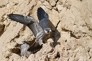 Sooty Falcon (Falco concolor) fledglings at nest, Eilat, Israel - Avi Meir/ BIA