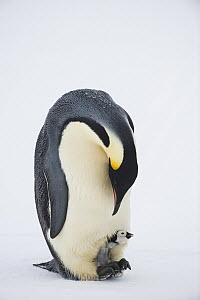 Emperor Penguin (Aptenodytes forsteri) parent with chick at feet huddling for warmth, Queen Maud Land, Antarctica  -  Stefan Christmann/ BIA