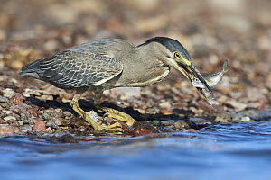 Striated Heron (Butorides striata) with fish prey, Eilat, Israel - Avi Meir/ BIA