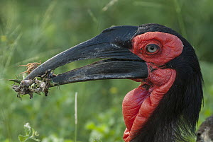 Ground Hornbill (Bucorvus leadbeateri) with insect prey, Mpumalanga, South Africa  -  Heini Wehrle/ BIA