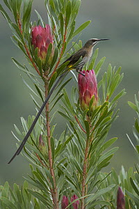 Cape Sugarbird (Promerops cafer), Western Cape, South Africa  -  Heini Wehrle/ BIA