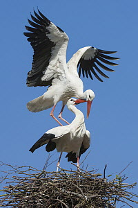 White Stork (Ciconia ciconia) pair mating, Lower Saxony, Germany  -  Willi Rolfes/ BIA