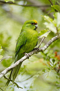Yellow-fronted Parakeet (Cyanoramphus auriceps), North Island, New Zealand  -  Neil Fitzgerald/ BIA