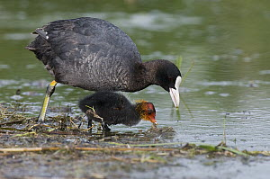 Coot (Fulica atra) parent foraging with chick, Austria  -  Alfred Trunk/ BIA