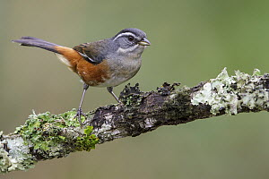 Red-rumped Warbling-Finch (Poospiza lateralis), Atlantic Rainforest, Brazil  -  Glenn Bartley/ BIA