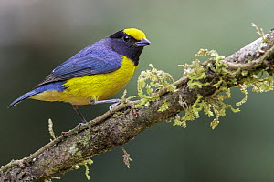 Orange-bellied Euphonia (Euphonia xanthogaster) male, Madre de Dios River, Peru  -  Glenn Bartley/ BIA