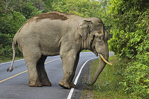 Asian Elephant (Elephas maximus) male crossing road, Khao Yai National Park, Thailand  -  Martin Grimm/ BIA