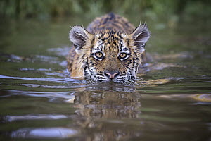 Tiger (Panthera tigris) cub in water, native to Asia - Marion Vollborn/ BIA