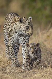 Leopard (Panthera pardus) mother with cub, Sabi-sands Game Reserve, South Africa - Marion Vollborn/ BIA