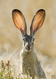 Black-tailed Jackrabbit (Lepus californicus), California  -  Douglas Herr/ BIA