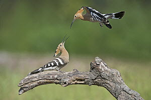 Eurasian Hoopoe (Upupa epops) pair fighting, Aosta Valley, Italy  -  Alain Ghignone/ BIA