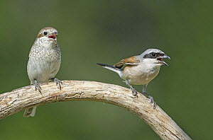Red-backed Shrike (Lanius collurio) father and fledgling calling, Aosta Valley, Italy  -  Alain Ghignone/ BIA