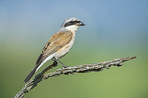 Red-backed Shrike (Lanius collurio) male, Aosta Valley, Italy  -  Alain Ghignone/ BIA