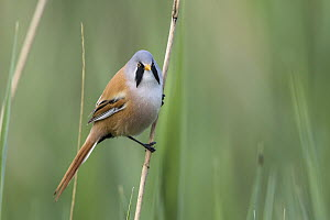 Bearded Tit (Panurus biarmicus) male, Mecklenburg-Vorpommern, Germany  -  Holger Duty/ BIA