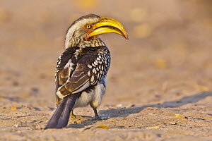 Southern Yellow-billed Hornbill (Tockus leucomelas), Moremi Game Reserve, Botswana - Gerald Haas/ BIA