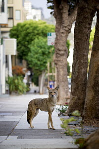 Coyote (Canis latrans) female in city, San Francisco, Bay Area, California  -  Jaymi Heimbuch