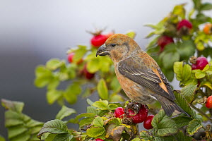 Parrot Crossbill (Loxia pytyopsittacus) male, Schleswig-Holstein, Germany - Ralph Martin/ BIA