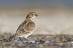 Lapland Bunting (Calcarius lapponicus), Schleswig-Holstein, Germany  -  Ralph Martin/ BIA