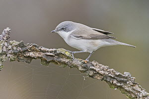 Lesser Whitethroat (Sylvia curruca), Aosta Valley, Italy  -  Alain Ghignone/ BIA