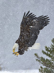 Bald Eagle (Haliaeetus leucocephalus) hunting in snow fall, Alaska - Alan Murphy/ BIA
