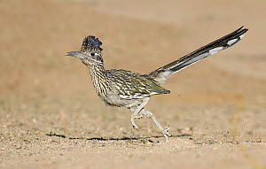 Greater Roadrunner (Geococcyx californianus) running, Arizona - Alan Murphy/ BIA