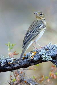 Tree Pipit (Anthus trivialis), Andalusia, Spain  -  Andres M. Dominguez/ BIA