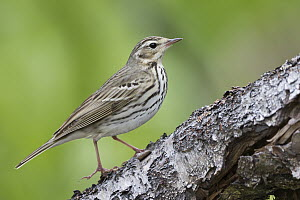 Olive-backed Pipit (Anthus hodgsoni), Russia  -  Ralph Martin/ BIA
