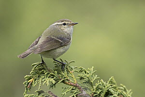 Hume's Leaf-Warbler (Phylloscopus humei), Kyrgyzstan  -  Ralph Martin/ BIA