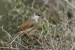 Spectacled Warbler (Sylvia conspicillata) male calling, Morocco  -  Ralph Martin/ BIA