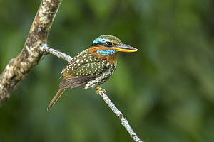 Spotted Wood Kingfisher (Actenoides lindsayi) male, Quezon, Philippines - Eric Sohn Joo Tan/ BIA