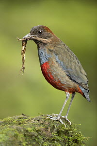 Whiskered Pitta (Pitta kochi) male with frog prey, Quezon, Philippines - Eric Sohn Joo Tan/ BIA